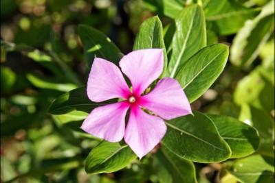 Flower Madagascar