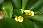 J 7 Euphorbia quartziticola