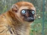 04-lemuriens