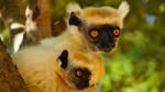 07-lemuriens