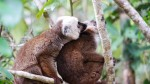 10-lemuriens