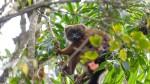 11-lemuriens