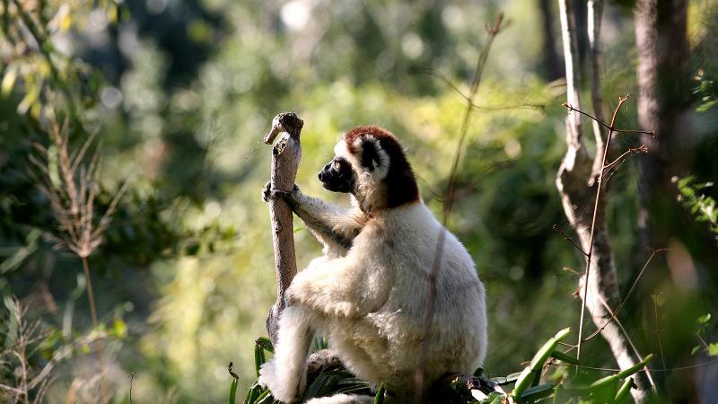 Endangered lemurs